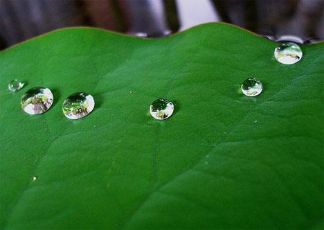 lotus leaf dew